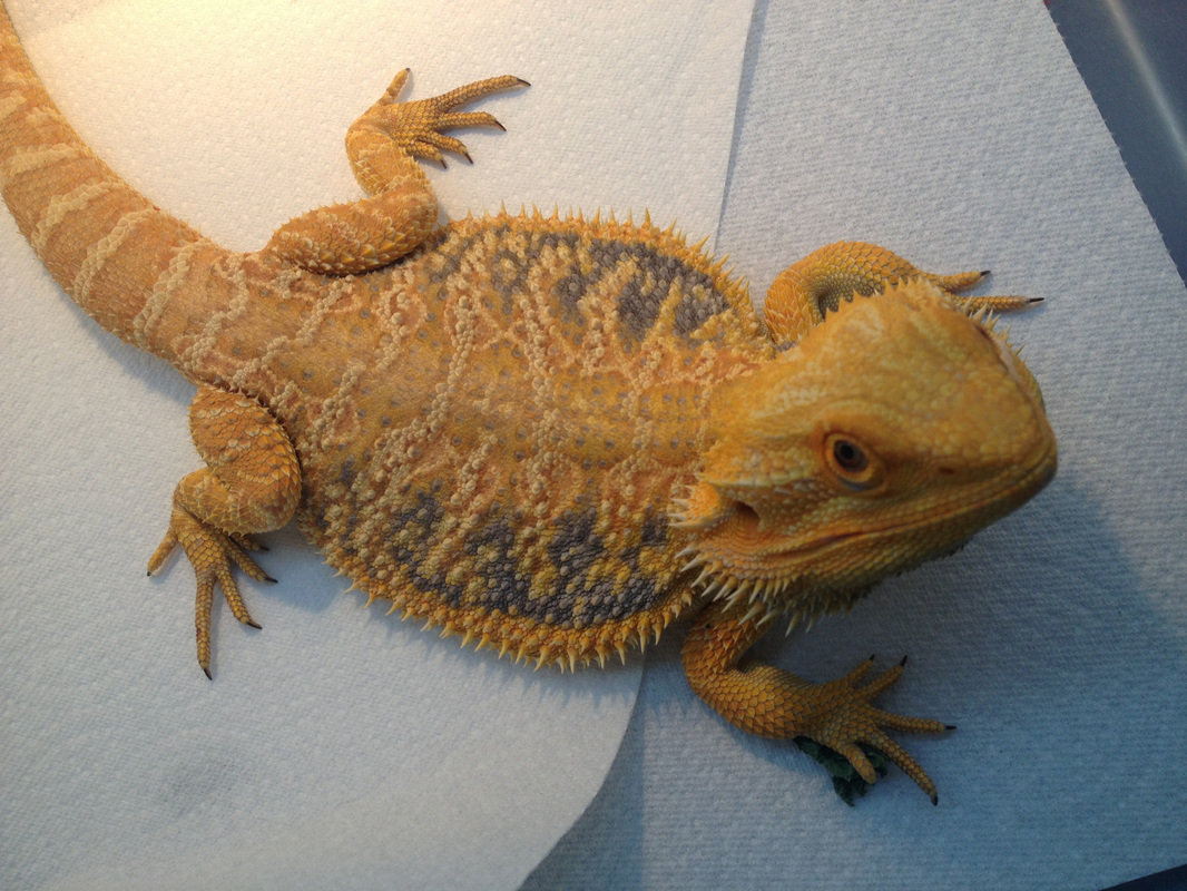 Bearded Dragon Morphs Colors Patterns